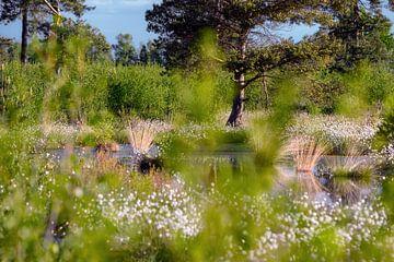 Wollgräser im Moor
