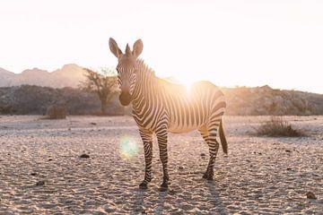 Zebra im Gegenlicht in Namibia sur Felix Brönnimann