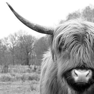 Auge in Auge mit einem schottischen Highlander von Renzo de Jonge