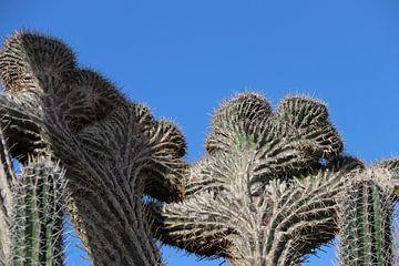 Duivelshand cactus op Bonaire. van Silvia Weenink