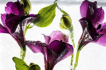 Alstroemeria in kristallklarem Eis 1 von Marc Heiligenstein
