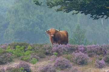Schotse Hooglander in bloeiende paarse heide von Remco Van Daalen