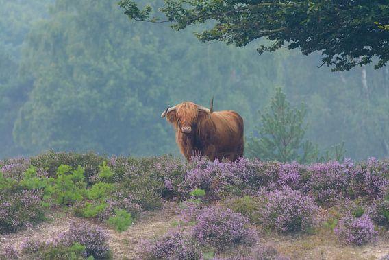 Schotse Hooglander in bloeiende paarse heide