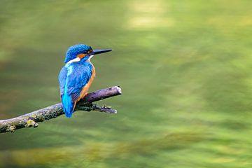 IJsvogel zittend op een tak met uitzicht op een kleine vijver van