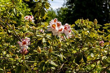Bloeiende rododendron met rode oranjebloesem en roodoranje bloesem van Alexander Wolff