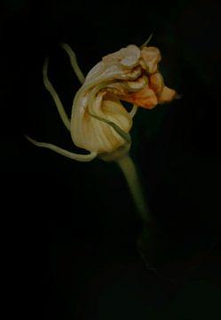 Schilderkunst schilderachtig bloem van een pompoen. van John Quendag
