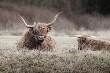 Twee rustende Schotse hooglanders van Melissa Peltenburg
