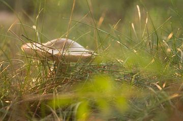 Paddestoel in het gras van Moïse Verzuu