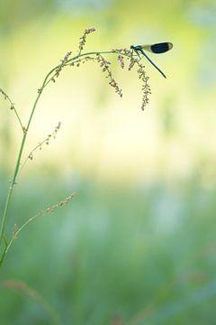 Weidebeekjuffer in vroeg ochtendlicht. van Francis Dost