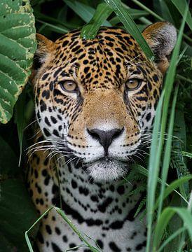 Jaguar im Amazonas Regenwald von Adalbert Dragon Dragon