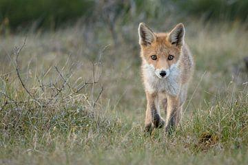 Een jonge vossen welp van Menno Schaefer
