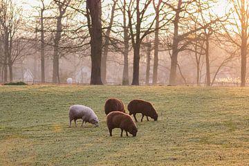 Schafe in der Morgensonne von Tania Perneel