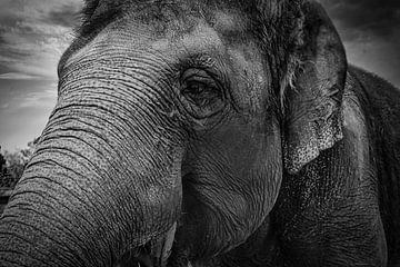 Elefant von Faucon Alexis