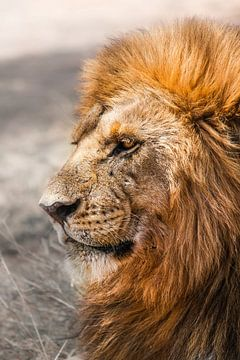Serengeti Lion van Johnny van der Leelie