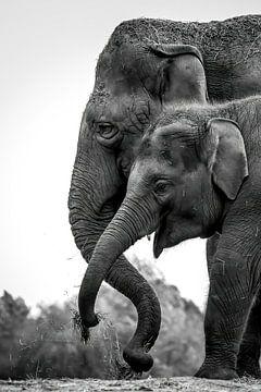 Elefanten-Portrait von Amanda Blom