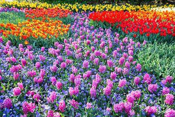 Field of rosa Hyazinthen und roten Tulpen im Keukenhof Holland sur Ben Schonewille