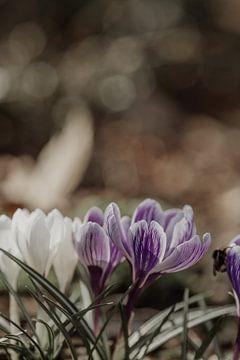 Krokusse im Garten von Tessa Dommerholt
