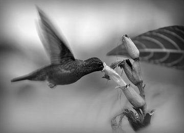 Kolibri vor Blume in schwarz weiß von Catalina Morales Gonzalez