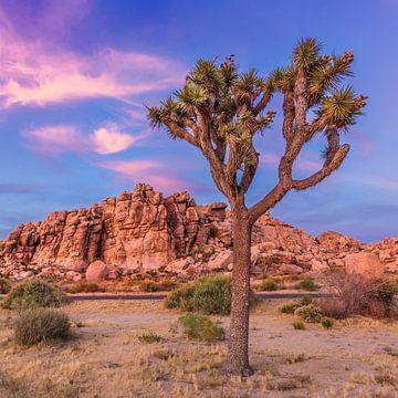 Joshua Tree in het avondlicht van Melanie Viola