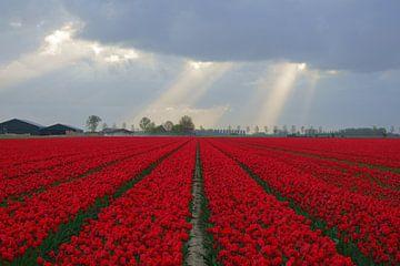 Tulpen von Michel van Kooten