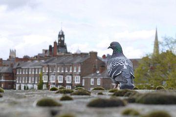 Duif kijkt uit op de stad I Stadsgezicht I York, Engeland van Floris Trapman