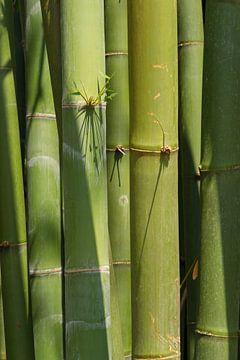 Bamboo von Arkadiusz Kurnicki