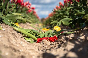 Blühende gelbe und rote Tulpen verwelken von Fotografiecor .nl