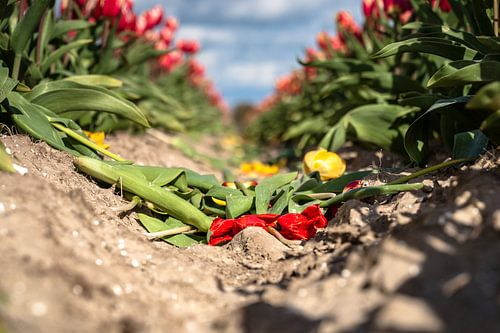 Bloeiende gele en rode tulpen die verwelken