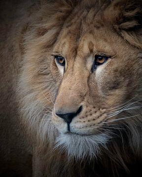 Dieser junge Löwe träumt vor sich hin von Patrick van Bakkum