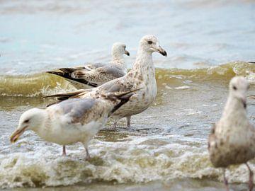 Möwen an der belgischen Küste von Delphine Kesteloot