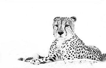 Cheetah von Robert Styppa