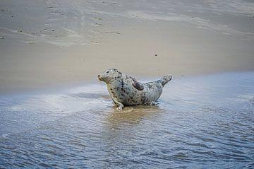 Grijze Zeehond aan waterkant van