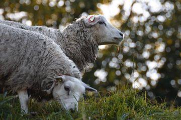 Grazende schapen van Kim de Been