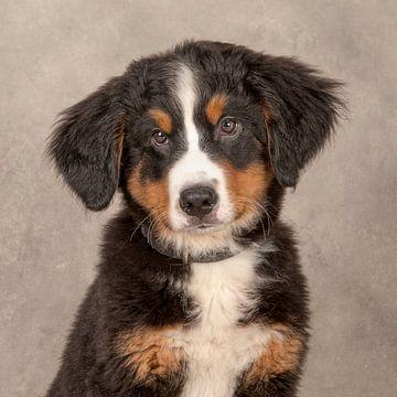 Berner Sennenhond pup van Tony Wuite