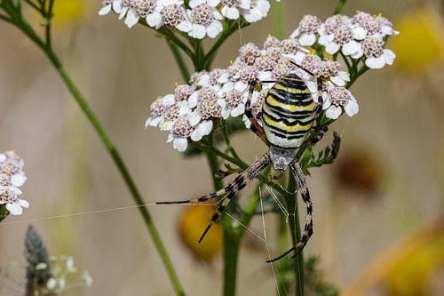 De wespspin (Argiope bruennichi)