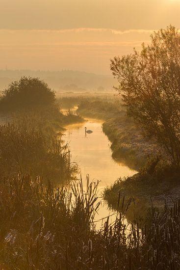 Zwaan in gouden zonsopgang