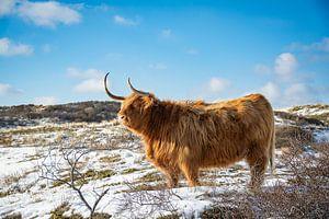 Schotse Hooglander in de sneeuw van Claire Groeneveld