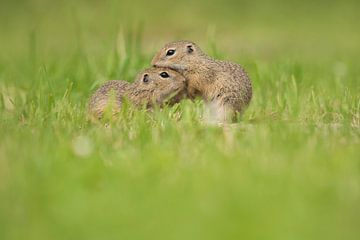 Siesels in het gras van Elles Rijsdijk