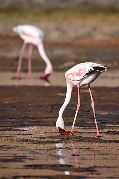 Flamingo's van Arjen van den Broek