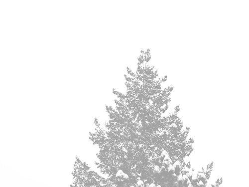Ein Nadelbaum-Wipfel mit schneebedeckten Spitzen
