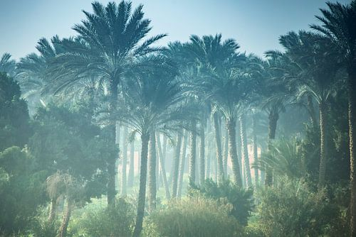 Palmbomen bos in Egypte