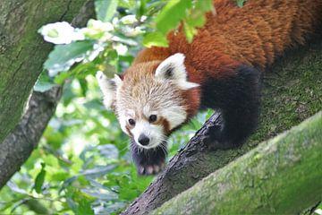 Roter Panda auf einem Baumstumpf von Samuel Jansen