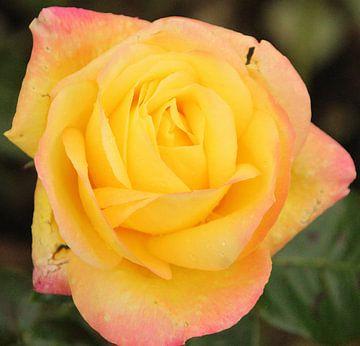 """Rose """"Pullman Orient Express"""" en fleur sur André Muller"""