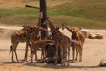 Giraffen von Suzana Luttermann