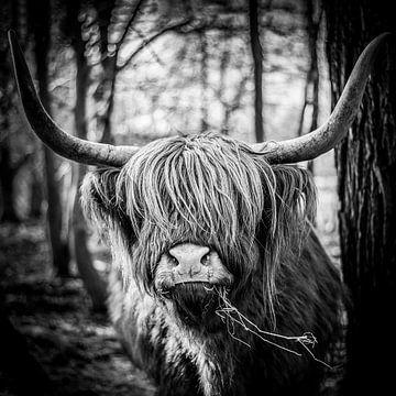 Schotse Hooglander van Rick Wiersma