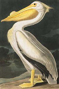 American White Pelican, John J. Audubon van
