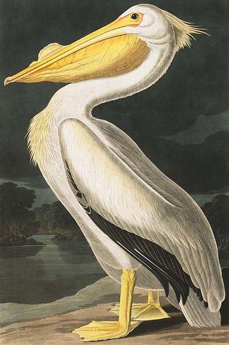 American White Pelican, John J. Audubon von Meesterlijcke Meesters