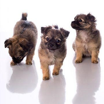 Drie chihuahua pups van Leoniek van der Vliet