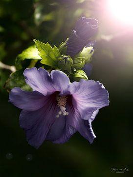 Tuinhibiscus bij schemering (Hibiscus syriacus)