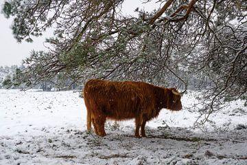 Schotse Hooglander zoekt beschutting onder een dennenboom in een besneeuwd winterlandschap van Sjoerd van der Wal